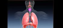pulmons_p